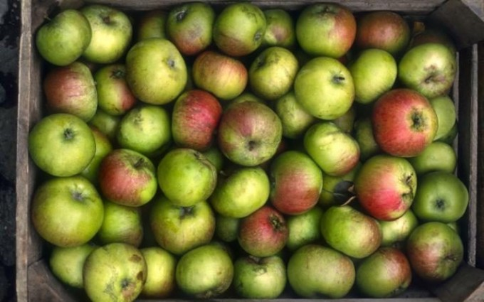 bramley-apples-680x425